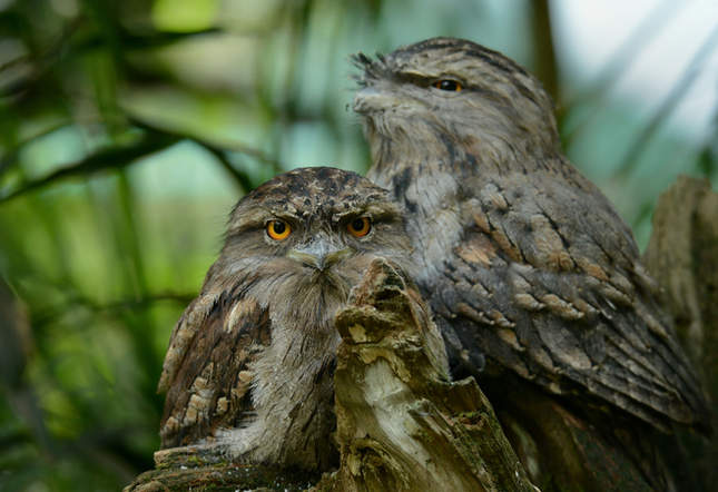 'Tawny Frogmouths'