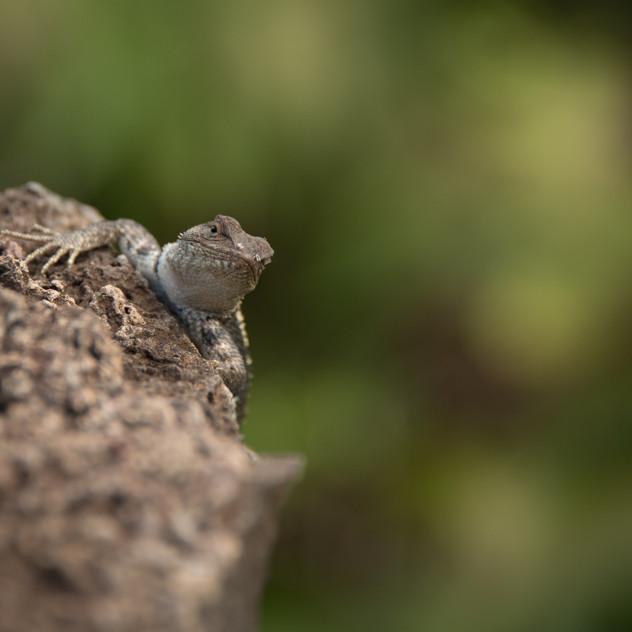In Lava Lizard territory