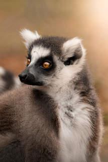 'Ring-tailed Lemur'