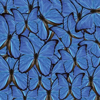 Blue Butterflies EAV-893