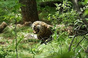 Проект «Тропою дальневосточного леопарда»