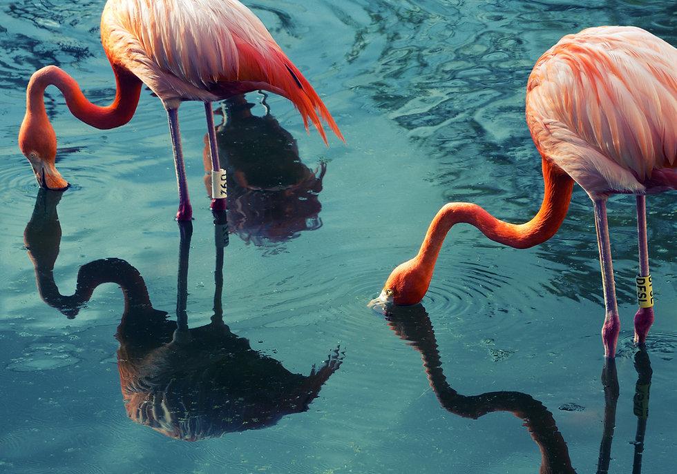 Två flamingos