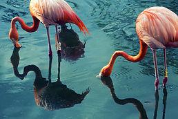 Two Flamingos