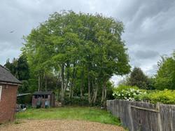 Tree Top Arborists crown reduction 3.jpg