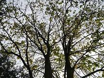 Tree Top Arborists tree felling 1.jpg