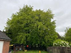 Tree Top Arborists crown reduction 1.jpg
