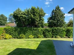 Tree Top Arborists hedge cutting 5.jpg
