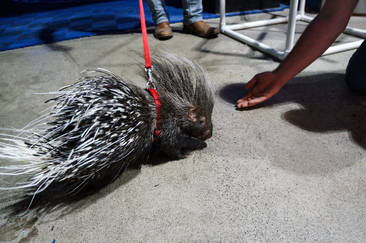 Rufus the Porcupine