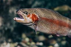 trout.jpg