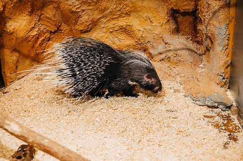 Rufus the porcupine.jpg