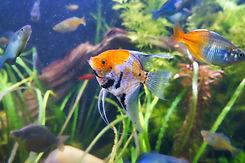 Angle Fish.jpg