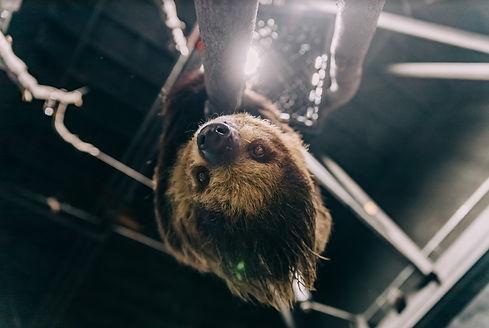wookie the sloth upside down