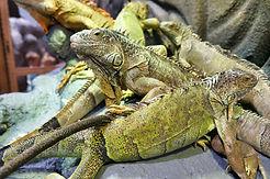 group of Iguana.jpg