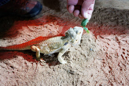 Feed the Bearded Dragons