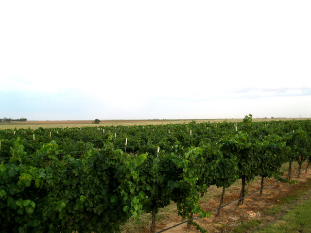 Long, hot summer days make for perfect ripening conditions at the Cerro Santo Vineyard.