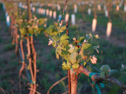 Evening sun on new growth leaves at the Cerro Santo Vineyard.