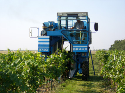 Big Blue tackles harvest season at Cerro Santo Vineyard.