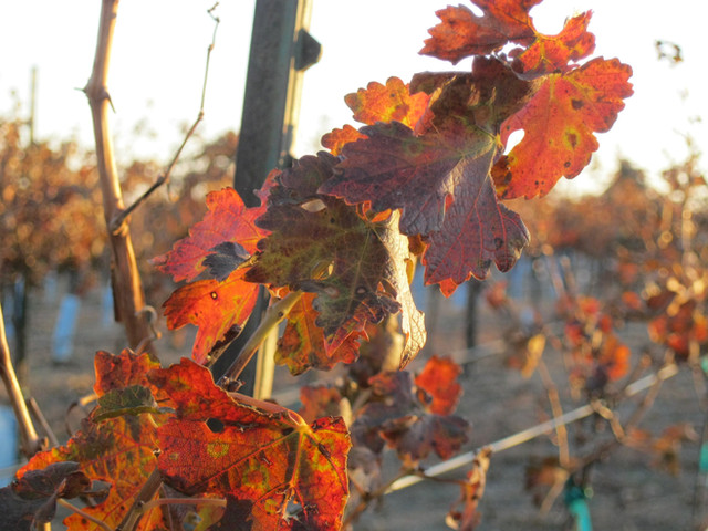 Vines provide beautiful fall color at our vineyards.