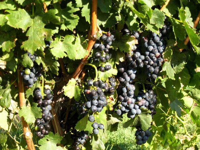 Cabernet Sauvignon grapes at Cerro Santo Vineyard.