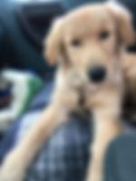 Golden retriever Diabetic alert service dog.