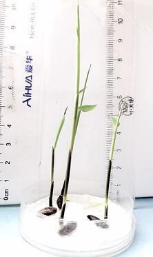 1 week Dendrocalamus sinicus seedlings_e