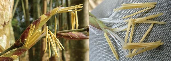 Dendrocalamus sinicus flower.jpg