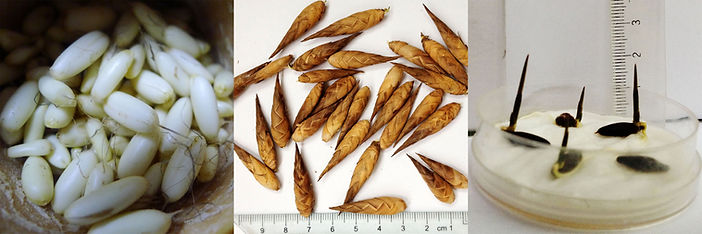Dendrocalamus sinicus seeds.jpg