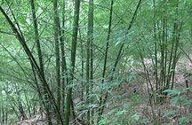 3-year old bamboo plantation