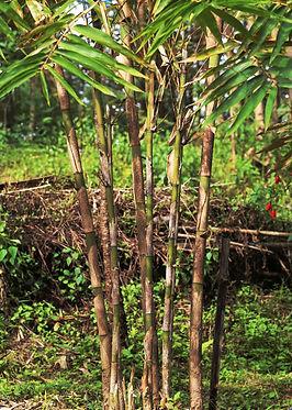 2 year old Dendrocalamus sinicus plant.J