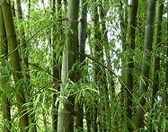 4-year old bamboo plantation