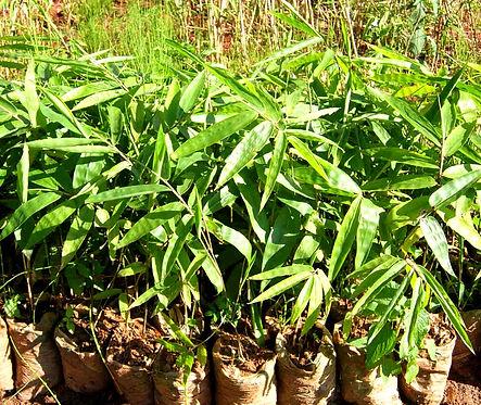 3 months Dendrocalamus sinicus seedlings