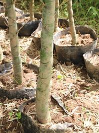 Vegetative propagated bamboo plants