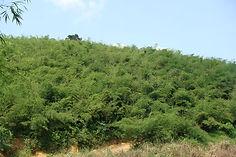 2-year old bamboo plantation