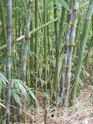 Bambusa longinternode (4).JPG