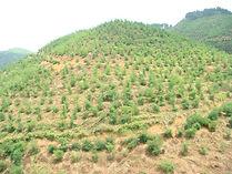 1 year old bamboo plantation