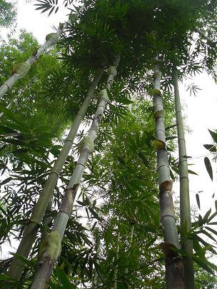 Bambusa longinternode (1).JPG