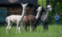 Alpaka von Markus Deuring_11QC8565.jpg
