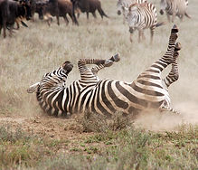 3 YHunter2014 Rolling Zebra.JPG
