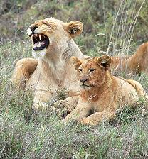 2 YHunter2014 Lioness and Cub.JPG