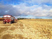 YH Cutting the corn jpg-4.jpg