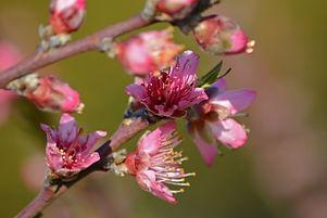 YH Peach Blossom.jpg