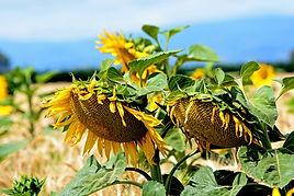 YH Sunflower in Field 3.jpg