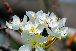 YH Prune Blossom .jpg