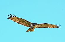 Hawk in Flight_edited-1.jpg