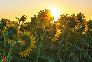 YH Sunflowers 3.jpg