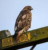 YH Redtail Hawk Power Line 4.jpg