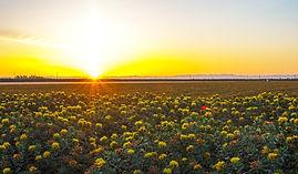YH landscape 2 safflower sunrise-2.jpg