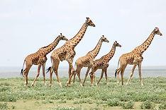 Giraffes in a  Line.JPG