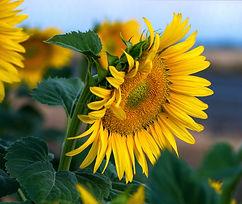 YH Sunflowers 5.jpg