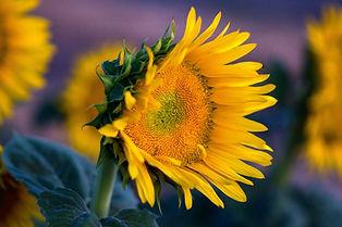 YH Sunflowers 4.jpg